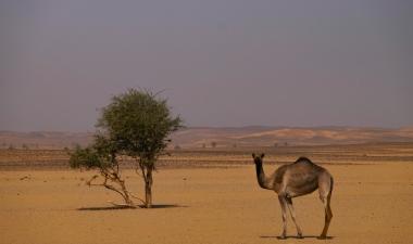 24 cammello selvatico