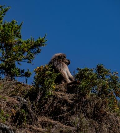 27 scimmia nelle Simien Mountain