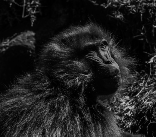 28 scimmia nelle Simien Mountain
