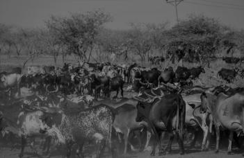 57 mucche al pascolo