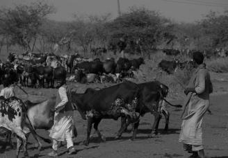 58 mucche al pascolo