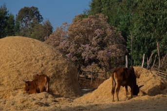 82 mucche strada zone di Butajira
