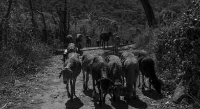 30 capre