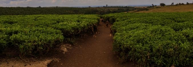 51 coltivazioni di tè vicino Iten