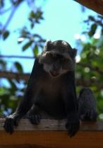 80 scimmia