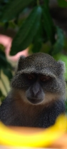 81 scimmia