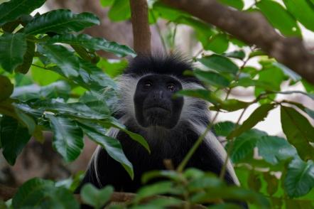 83 Colobus monkey