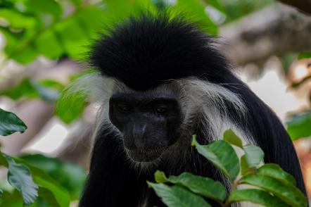 84 Colobus monkey