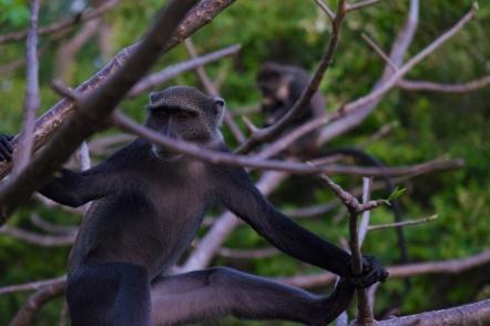 85 scimmie
