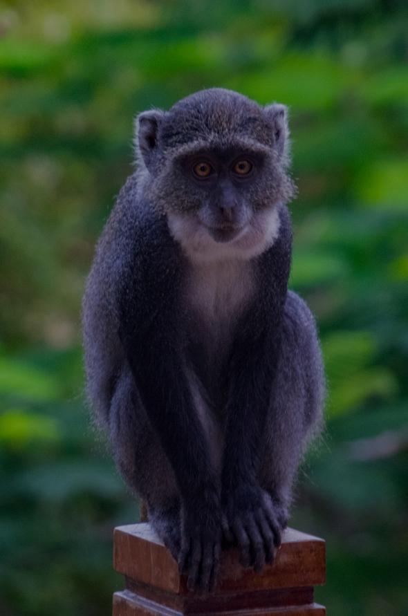 86 scimmia giovane